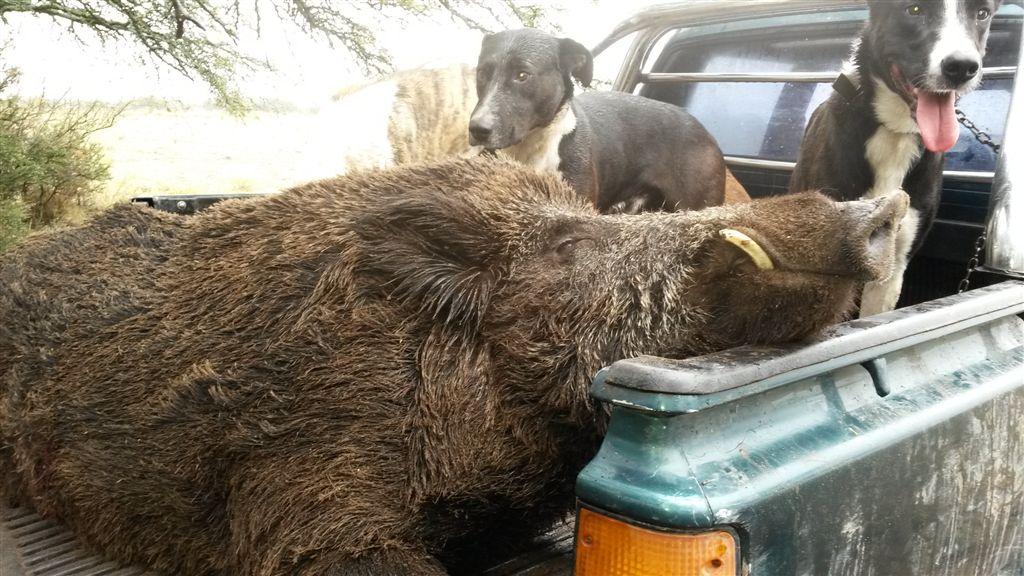 wild boar2 - copia